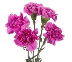 Carnation - lavender