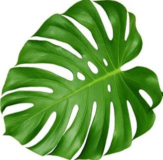 Monstera Leaves Medium