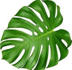 Monstera Leaves Medium