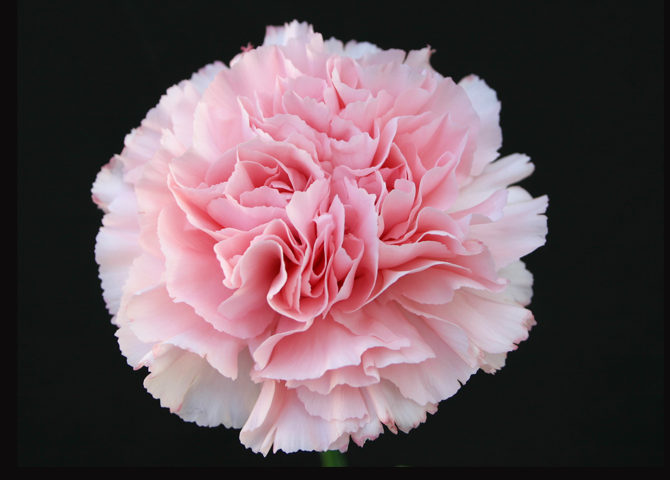 Mizuky - pink