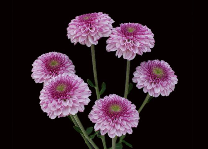 Delirock Pink