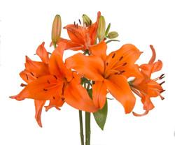 Lily - orange