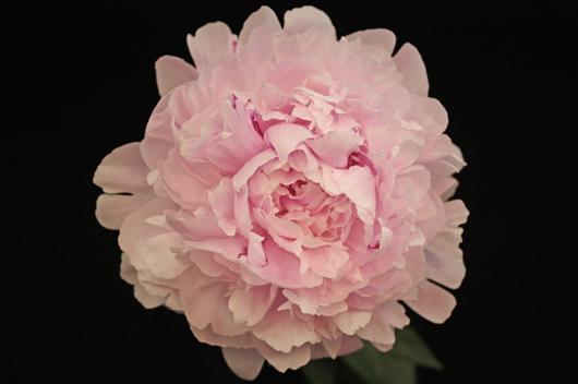 Sara Bernhard - pink