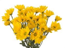 Pompon Daisy - yellow