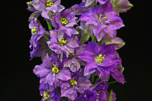 Larkspur Purple