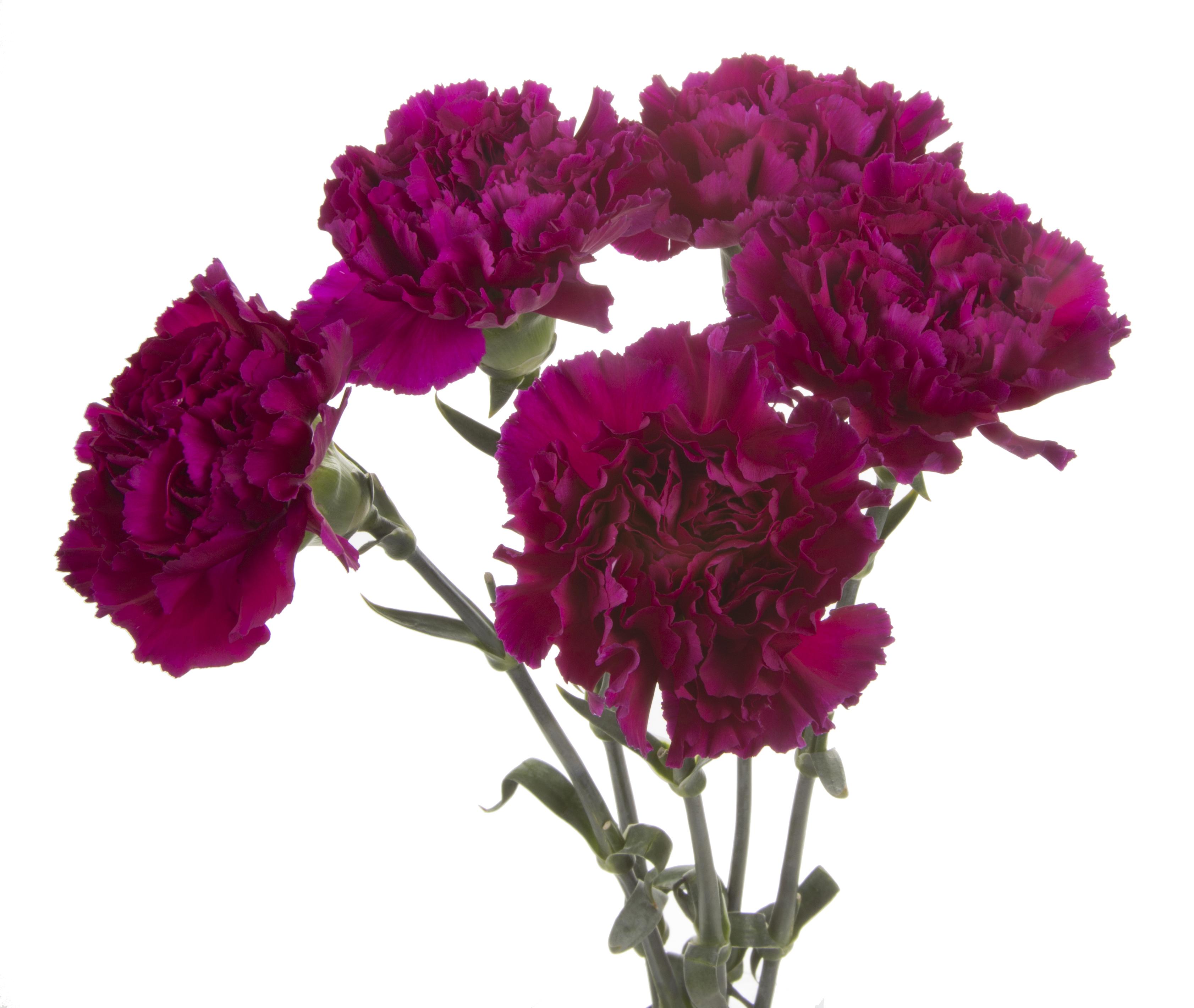 Carnation - purple