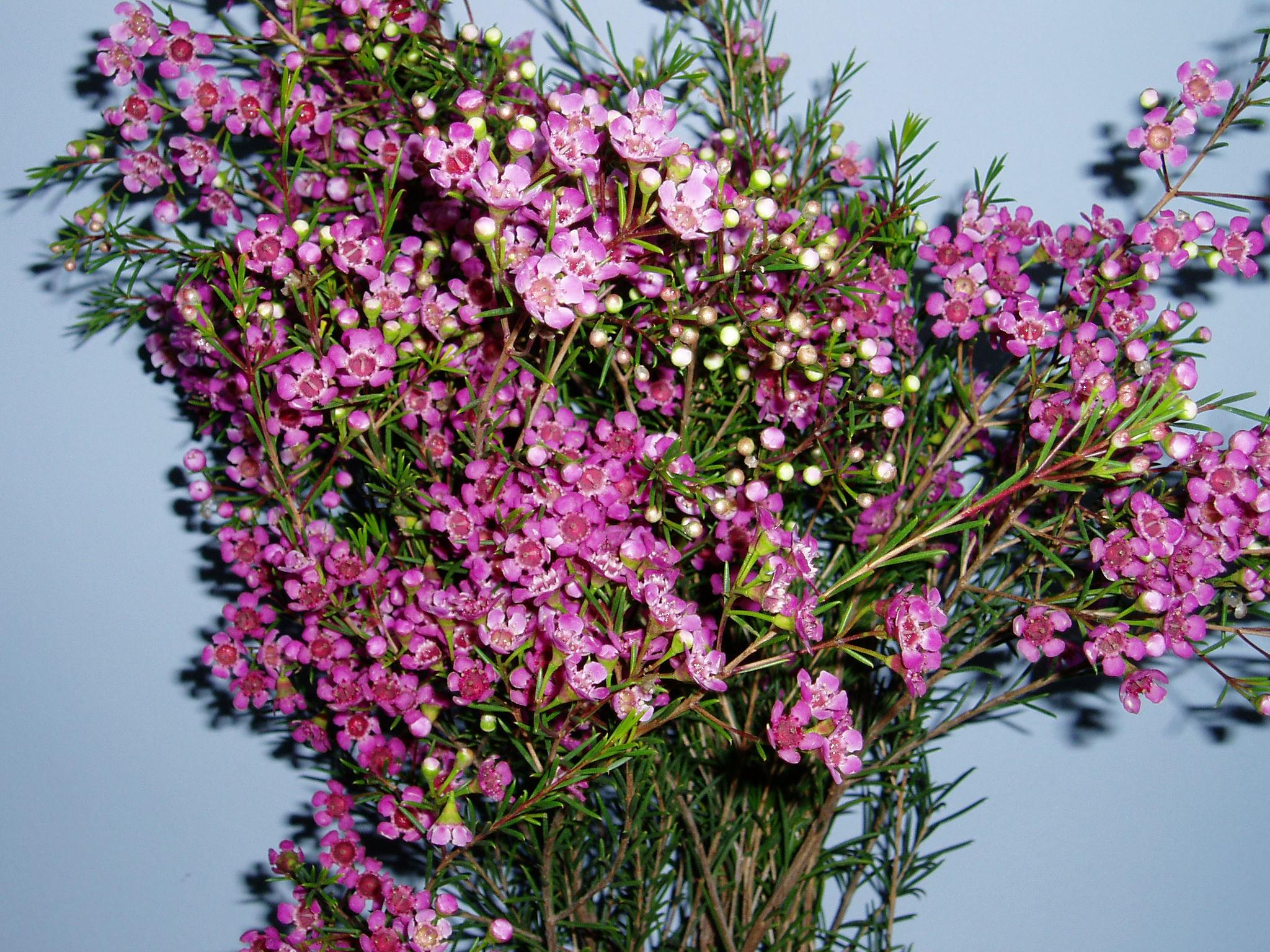Purple Wax Flower