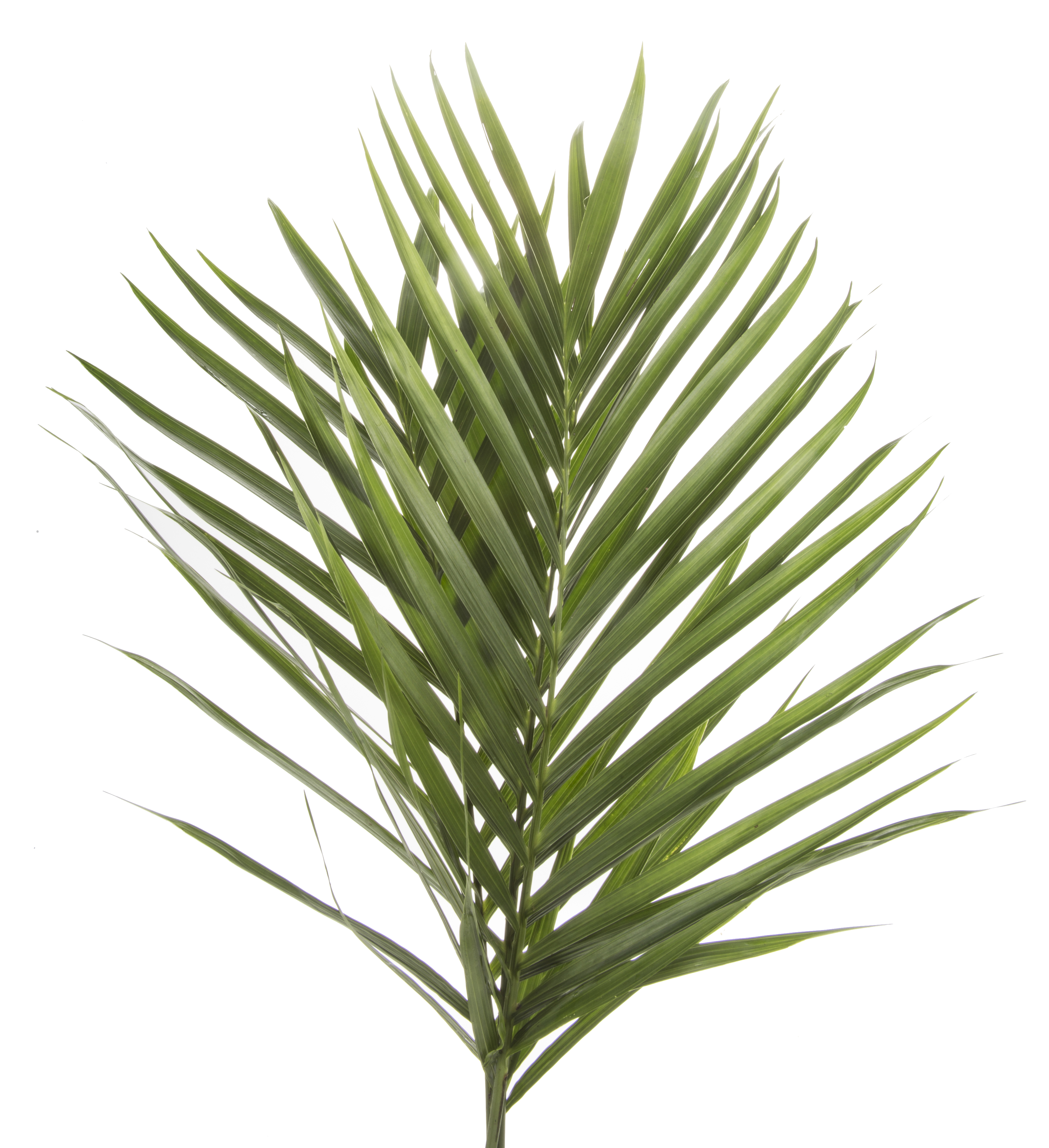 Greens - Palm Robelina