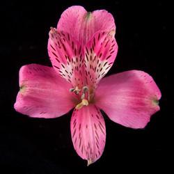 Cherry Bay - hot pink
