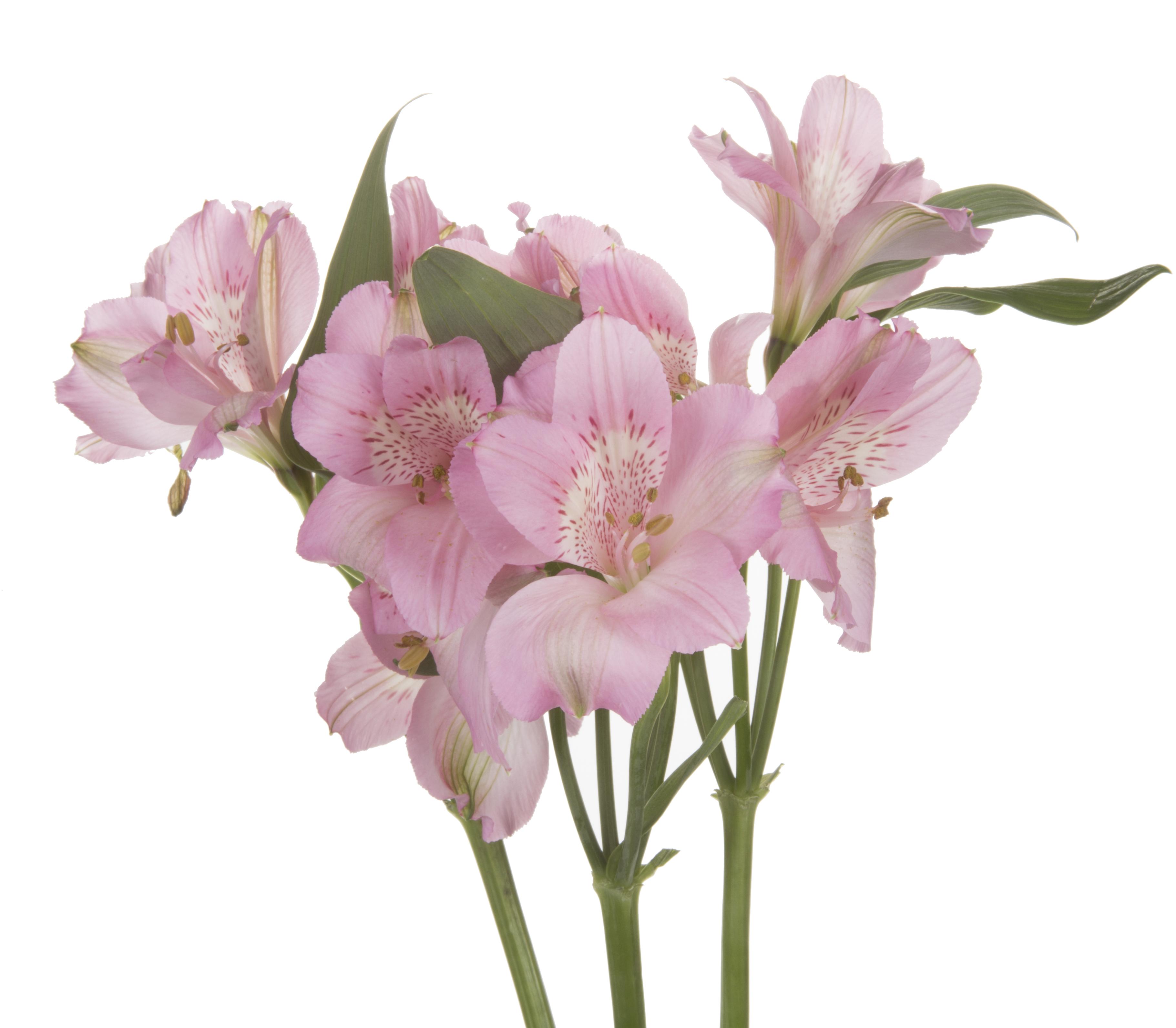 Alstroemeria - pink
