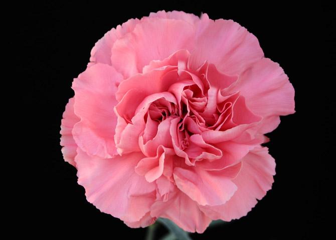 Pomarosa - pink