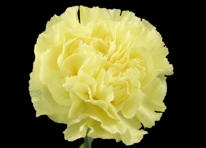 Gioele - yellow