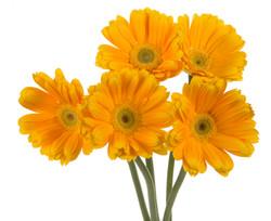Gerbera - yellow 5 stems