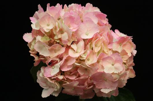 Spray Pink Hydrangea