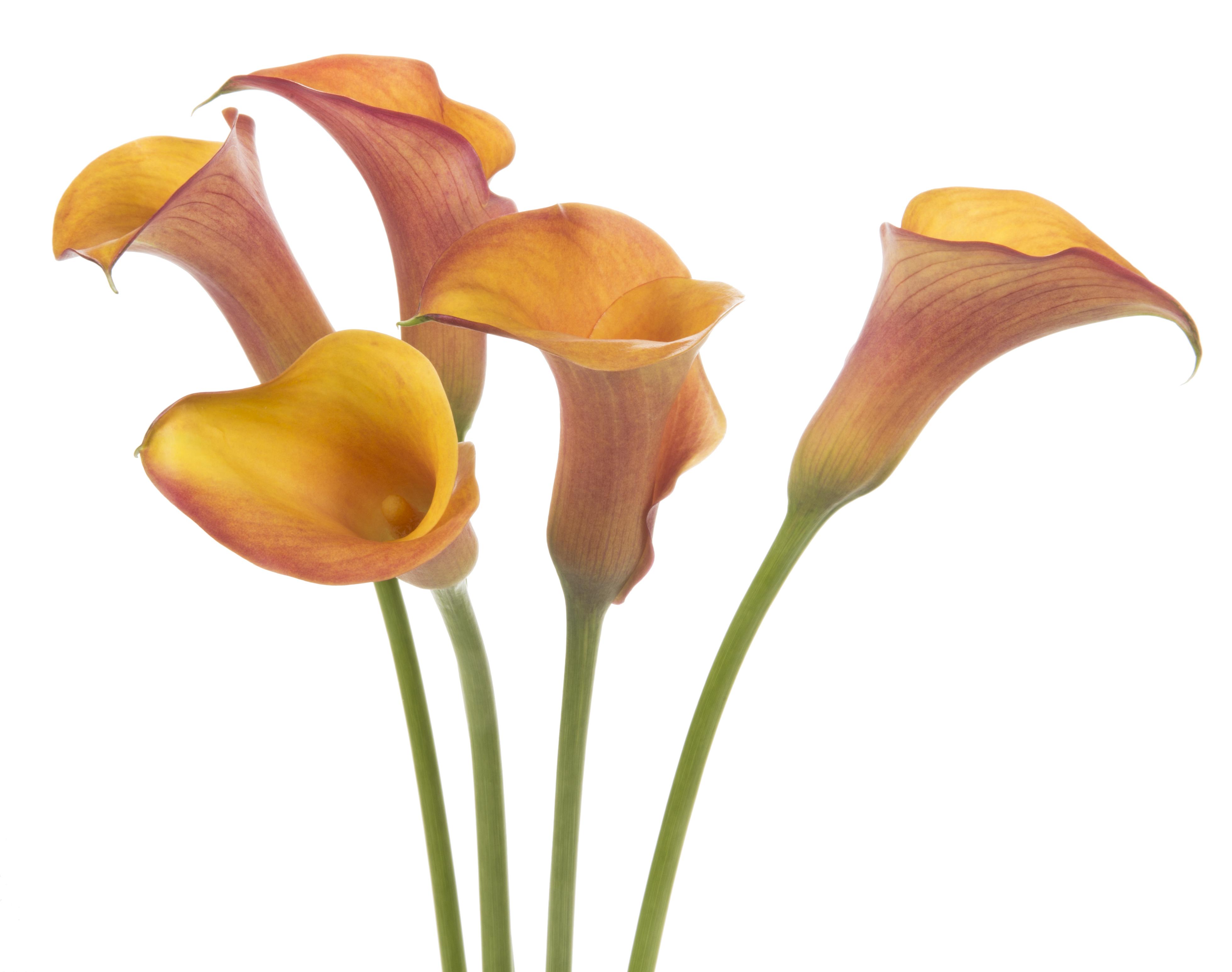 Calla - orange 5 stems