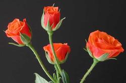 Mambo - orange