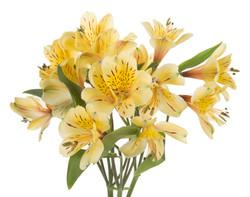 Alstroemeria - yellow