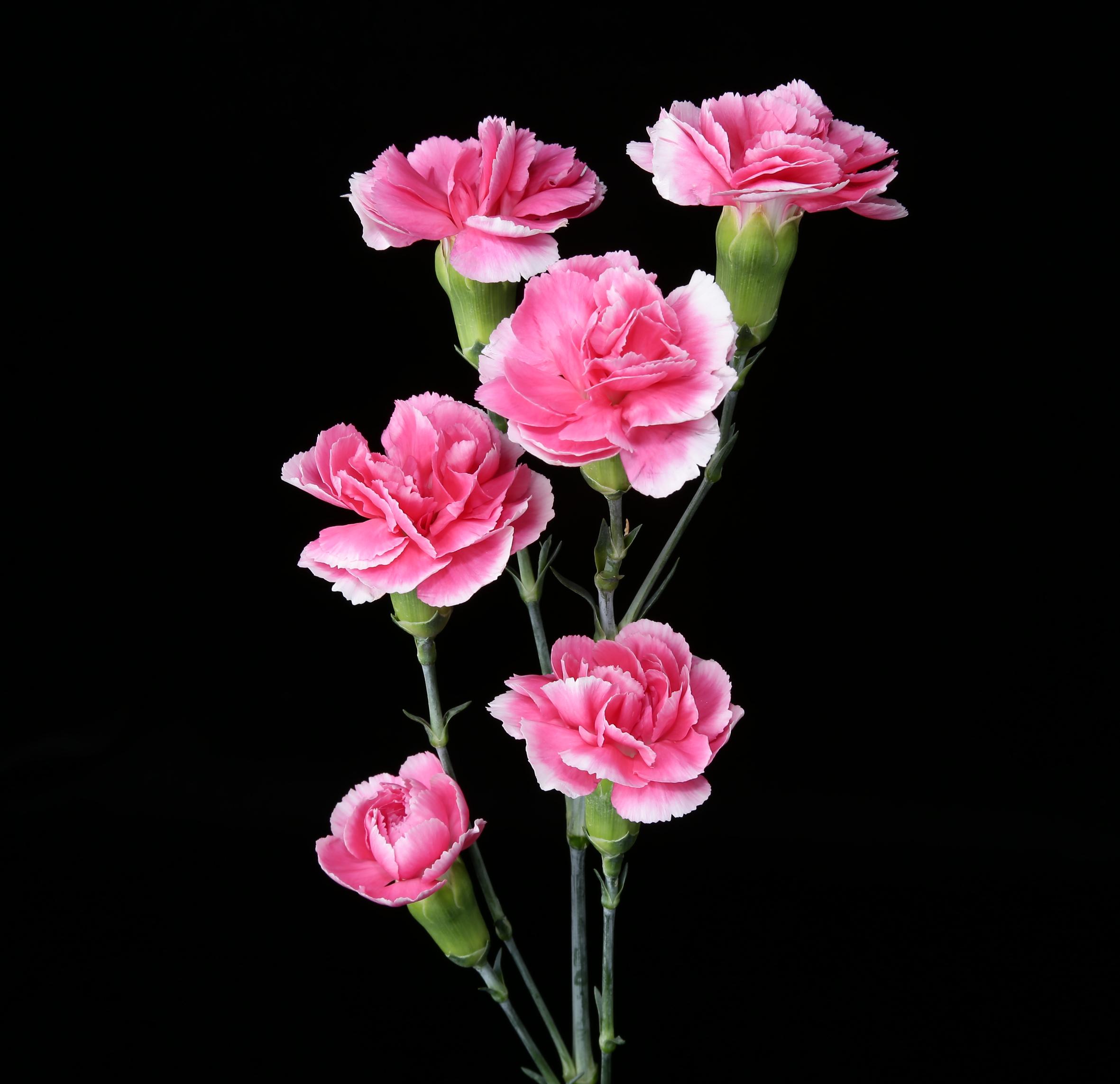 Cherry Tessino - novelty pink
