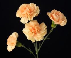 Nandi - novelty orange