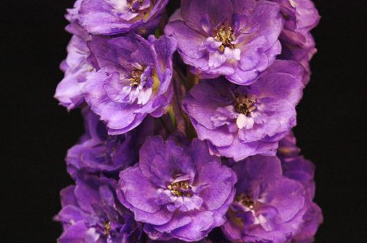 Elatum - purple