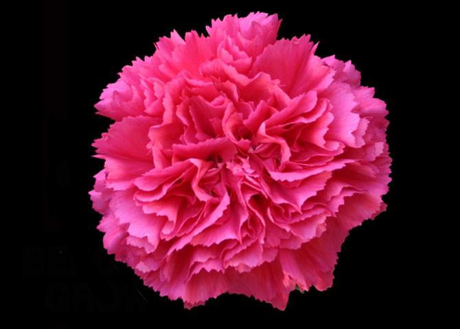 Bizet - dark pink