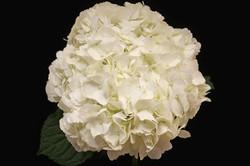 Natural White Hydrangea