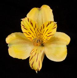 Jamaica - yellow