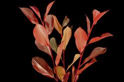 Photinia Red