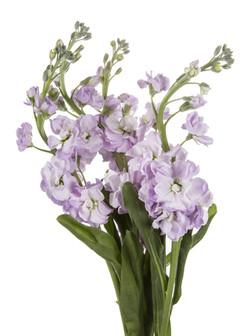 Stock - lavender