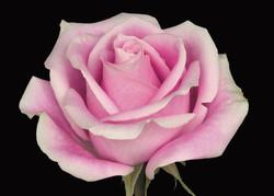 Rosita Vendela - novelty pink