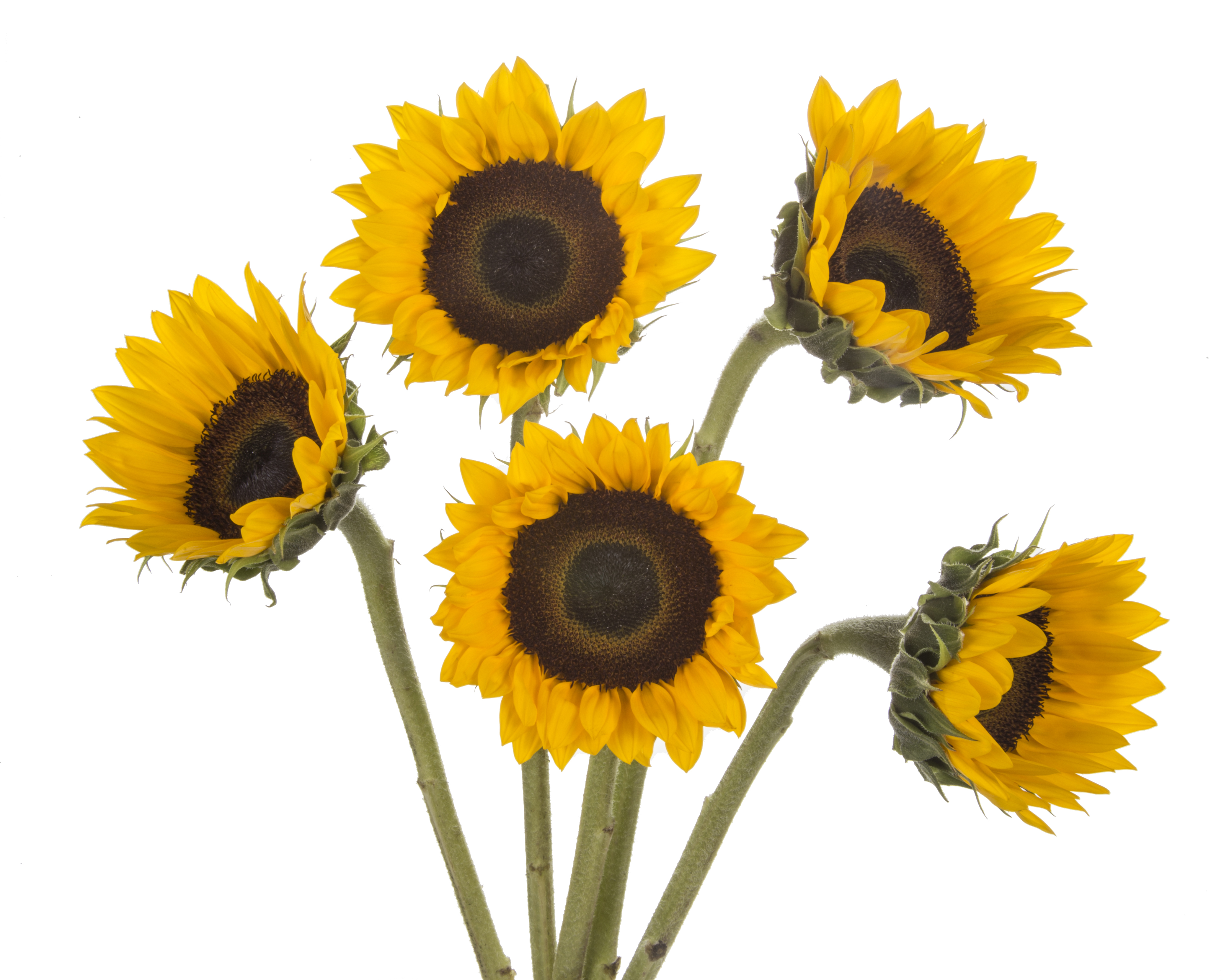 Sunflower - 5 stems