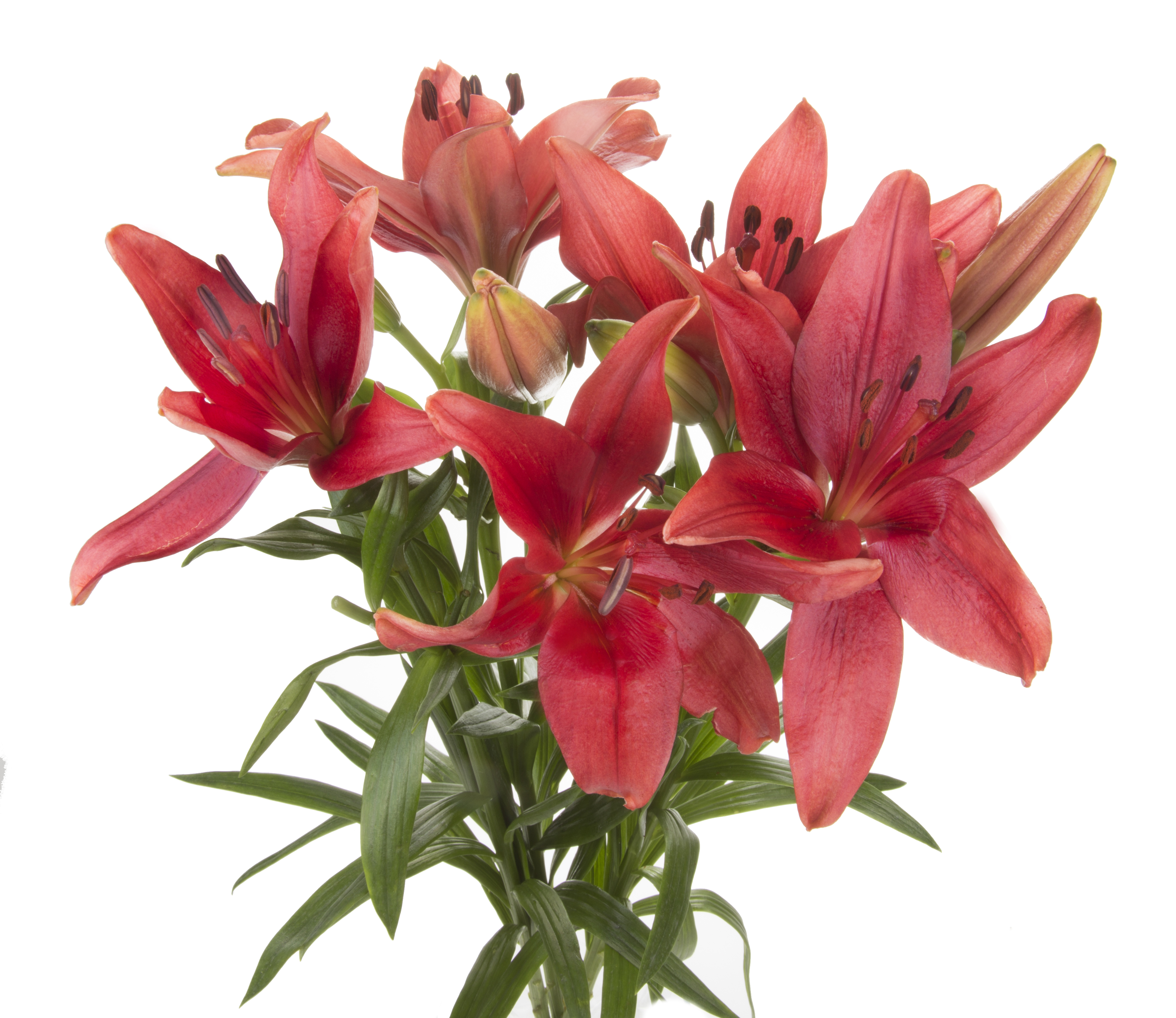 Lily - red