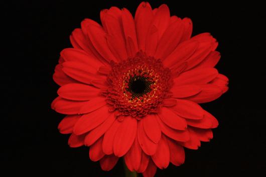 Red Julia