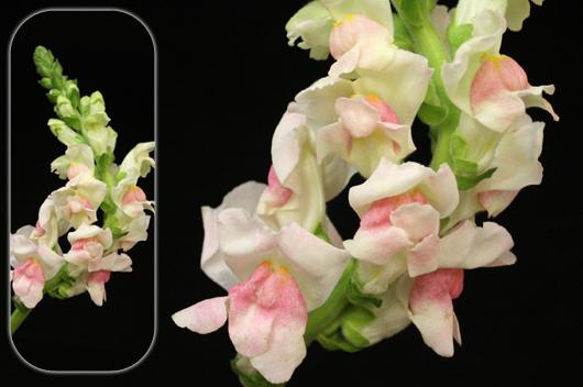 Bicolor Pink-White Snapdragon