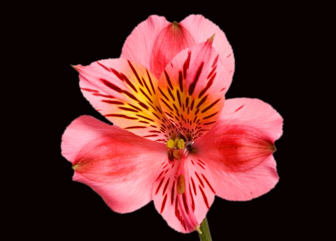 Bodega - dark pink