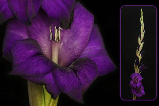 Purple Gladiola