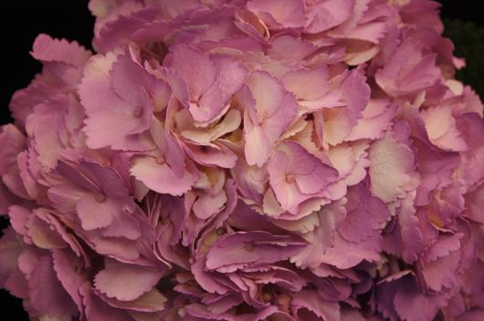 Hydrangea - tinted lavender