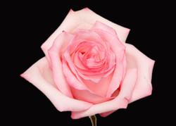 Vogue - novelty pink