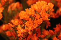 Statice - tinted orange