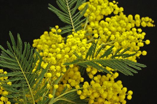 Acacia Mirandol