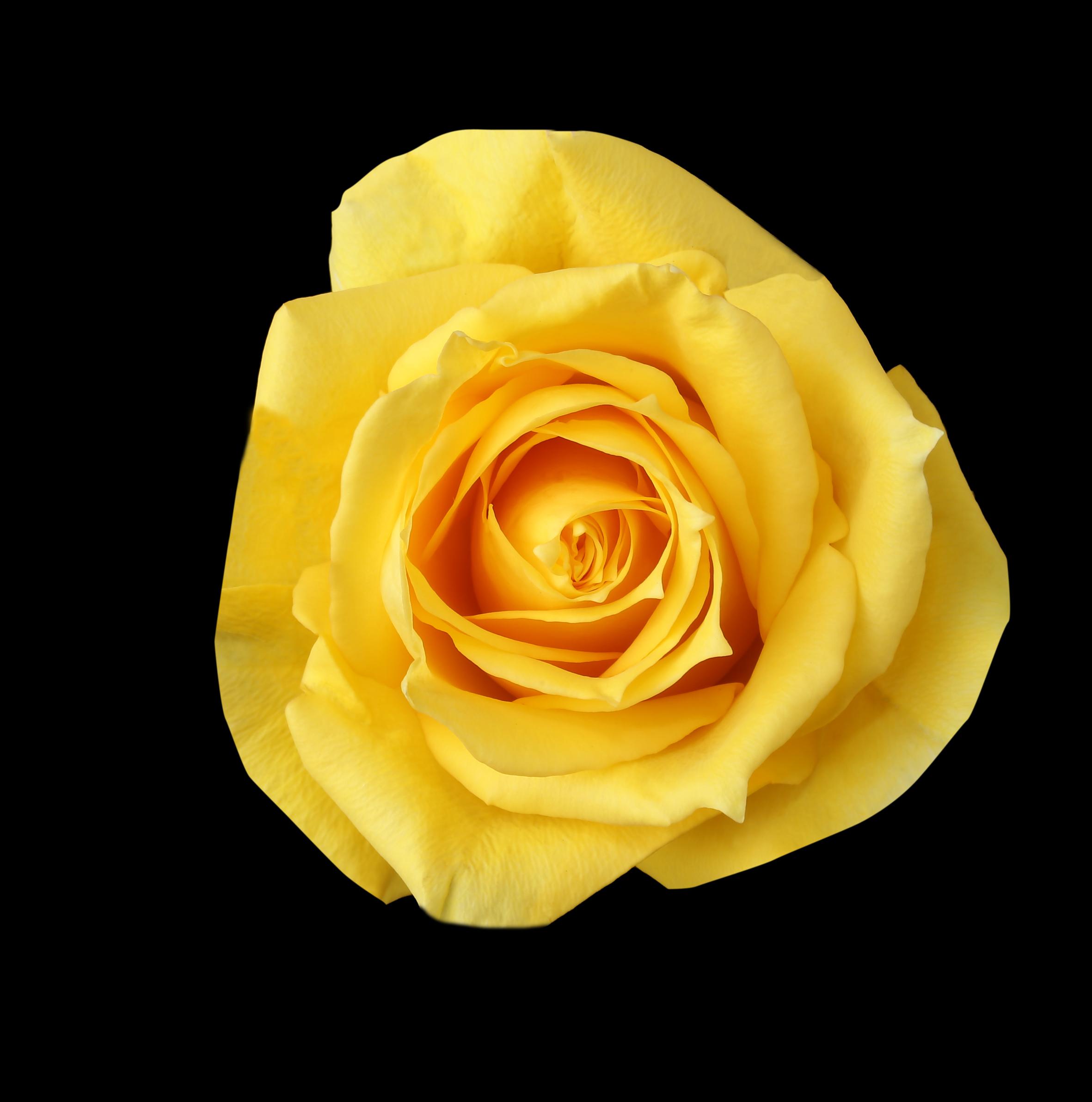 Canary - yellow