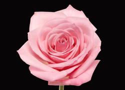 Sprit - pink