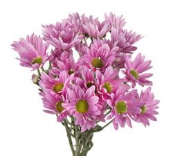 Pompon Daisy - pink