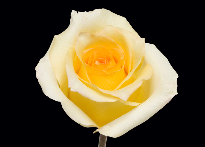 Marisa - novelty yellow