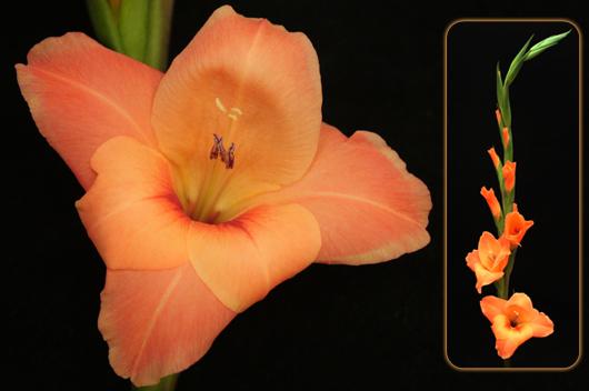 Gladiolus - orange
