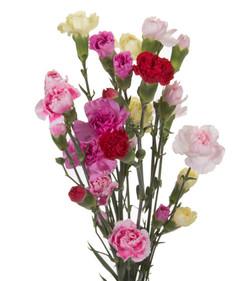 Carnation Mini - mixed
