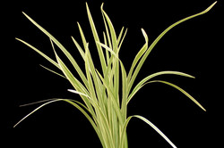 Lily Grass Variegated