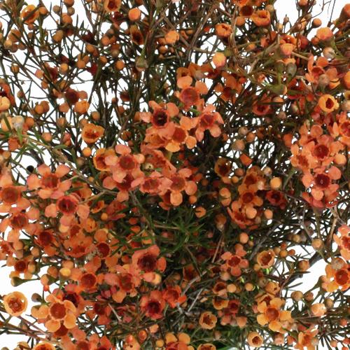 Tinted Bronze Wax Flower