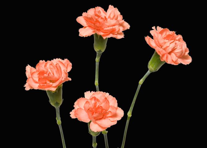 Apricot Lady - orange