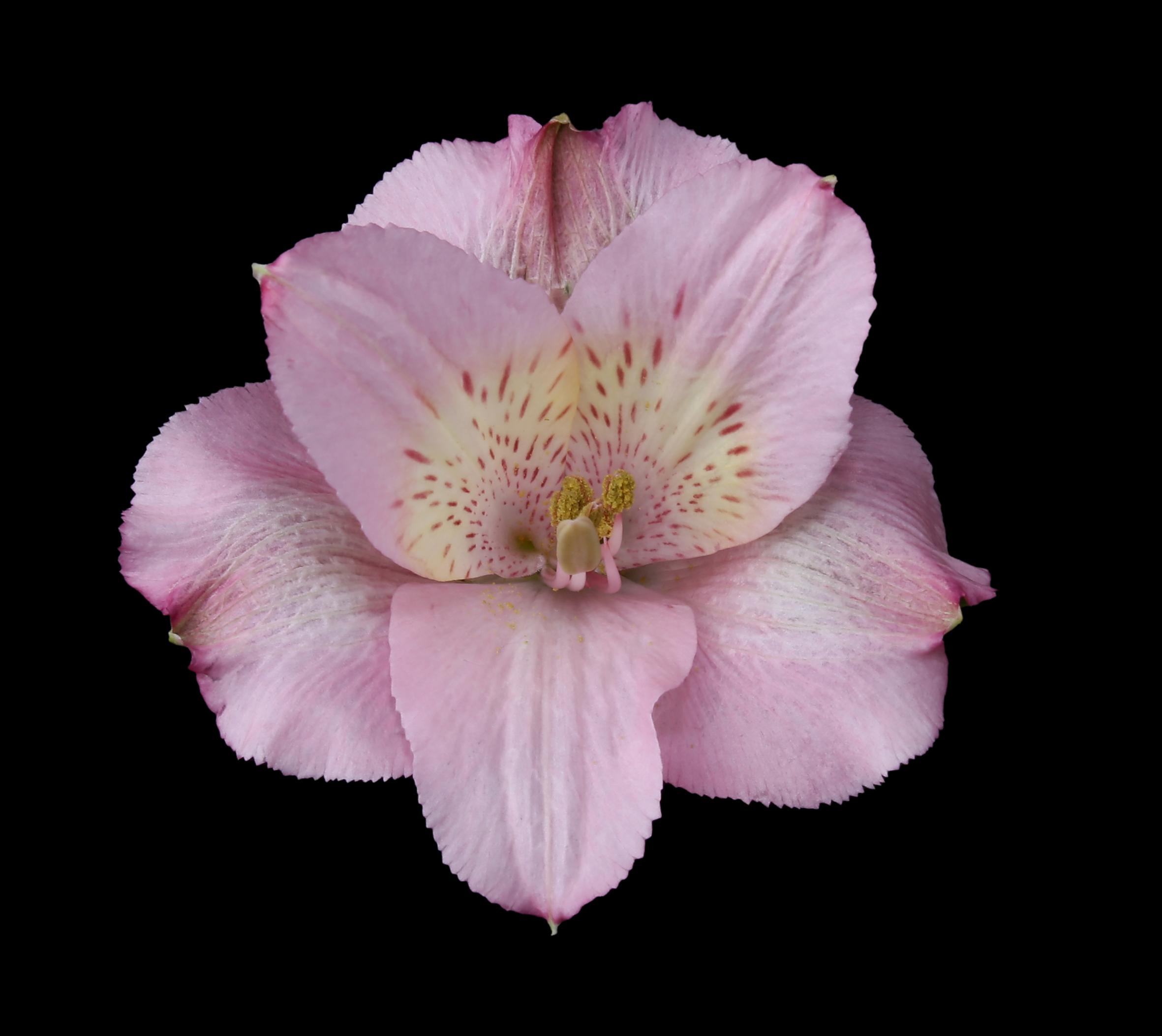 Primadona - pink